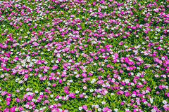 Small pink flower field on green plant garden. Royalty Free Stock Photos