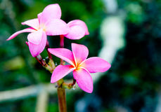 Small pink flower. Royalty Free Stock Photo
