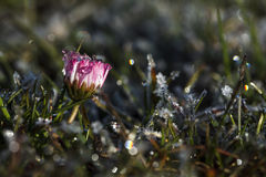 A small pink flower in the grass with dew drops Stock Images