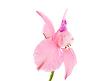 Small pink flower isolated Stock Image