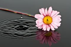 Small pink flower lay in water Royalty Free Stock Images