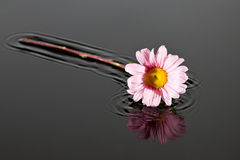 Small pink flower lay in water Royalty Free Stock Photography