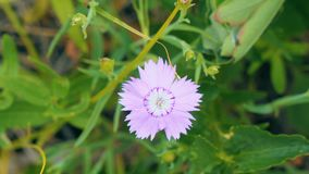 Small pink flower on natural background. Wood carnation. Dianthus deltoides stock footage