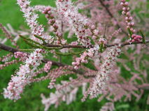 Small pink flowers Royalty Free Stock Images