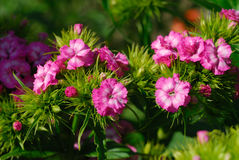 Small pink flowers. At green background Stock Photography