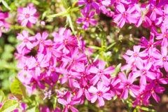 Small pink flowers as background Stock Image