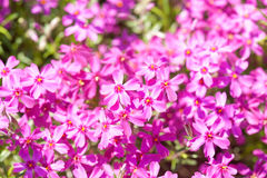 Small pink flowers as background Royalty Free Stock Images