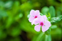 Small pink flowers On a background of green foliage royalty free stock photography