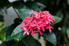 Small pink flowers.closed up. Pink Ixora are blooming. Small pink flowers.closed up Royalty Free Stock Image