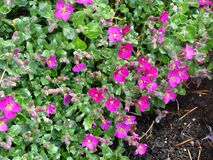 Small pink flowers. In a garden Royalty Free Stock Photo