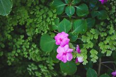 Small pink flowers with green leaf spring garden background.  Stock Photography