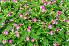 Small Pink flowers with green leaves for background. Royalty Free Stock Photography