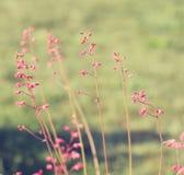 Small pink flowers HEUCHERA Stock Photos