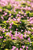 Small Pink flowers Stock Photography