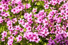Small pink flowers Royalty Free Stock Photos
