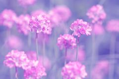Small pink flowers on a purple background. Soft selective focus Stock Image