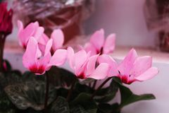 Small pink flowers in the shop. Beautiful flowers in the shop Royalty Free Stock Images