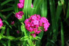 Small pink garden carnations in greenery growing in garden Stock Photo