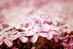 Small, pink garden flowers Royalty Free Stock Photos