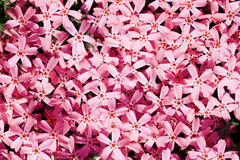 Small, pink garden flowers Royalty Free Stock Photography