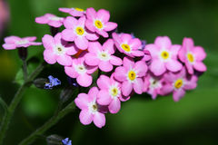 Small pink Myosotis or Forget me nots flowers Royalty Free Stock Photo
