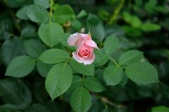 Small pink rose flower. Close view of small pink rose flower blossom background with leaves Stock Image