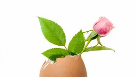 Small pink rose mignon, inside an empty egg shell Stock Image