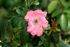 Small pink rose with small spots missing most of petals surrounded with dark green leaves in local garden royalty free stock images