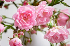 Small pink roses in a vase, texture background Stock Image