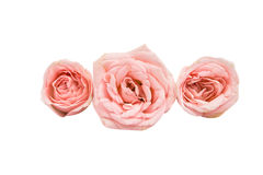Small pink roses Stock Images