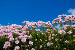 Small pink thrift flowers with blue sky in the background. Small pink flowers on a grass field with blue sky in the background. Surface level shot. Armeria Royalty Free Stock Photo