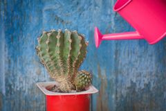 Small pink watering can and cactus. Blue vintage background.  stock photos