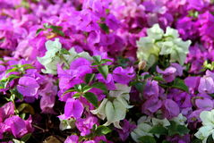 The small pink and white flowers bougainvillea in a park. Stock Photo