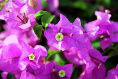 The small pink and white flowers bougainvillea in a park. Stock Photos