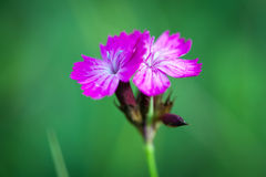 Small pink wild flowers on green meadow Royalty Free Stock Image