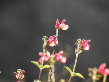 Small pink wildflowers Stock Photography
