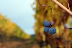 Small Pinot Noir Cluster. A small group of grapes left behind after harvest Royalty Free Stock Image