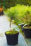 Small Pinus nigra tree sold in garden center. Austrian pine or b royalty free stock image