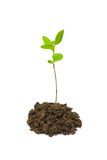 Small plant. On white background royalty free stock images