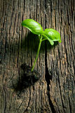 Small plant of basil Royalty Free Stock Photo
