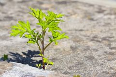 Free Small Plant Born On A Concrete Wall - Power Of Life Concept Image Stock Image - 149298461