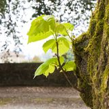 Small plant born from a tree trunk - New life concept image.  royalty free stock photography