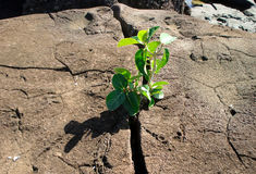 Small plant breaking through a rock Royalty Free Stock Image