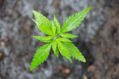 A small plant of cannabis seedlings at the stage of vegetation planted in the ground, eceptions of cultivation in an indoor stock photos