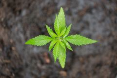 A small plant of cannabis seedlings at the stage of vegetation planted in the ground, eceptions of cultivation in an indoor royalty free stock image