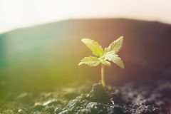 A small plant of cannabis seedlings at the stage of vegetation Light toning stock images