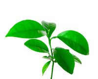 Small plant of citrus Royalty Free Stock Photos