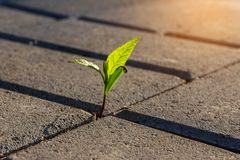 A small plant in the city street. A small plant with green leaves grows on the sidewalk. Germinating plant in paving slabs in the morning sunlight. business royalty free stock image