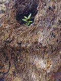 Small plant coming out from tree trunk Royalty Free Stock Images