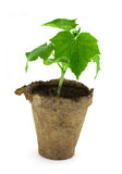 Small plant of cucumber Royalty Free Stock Photography